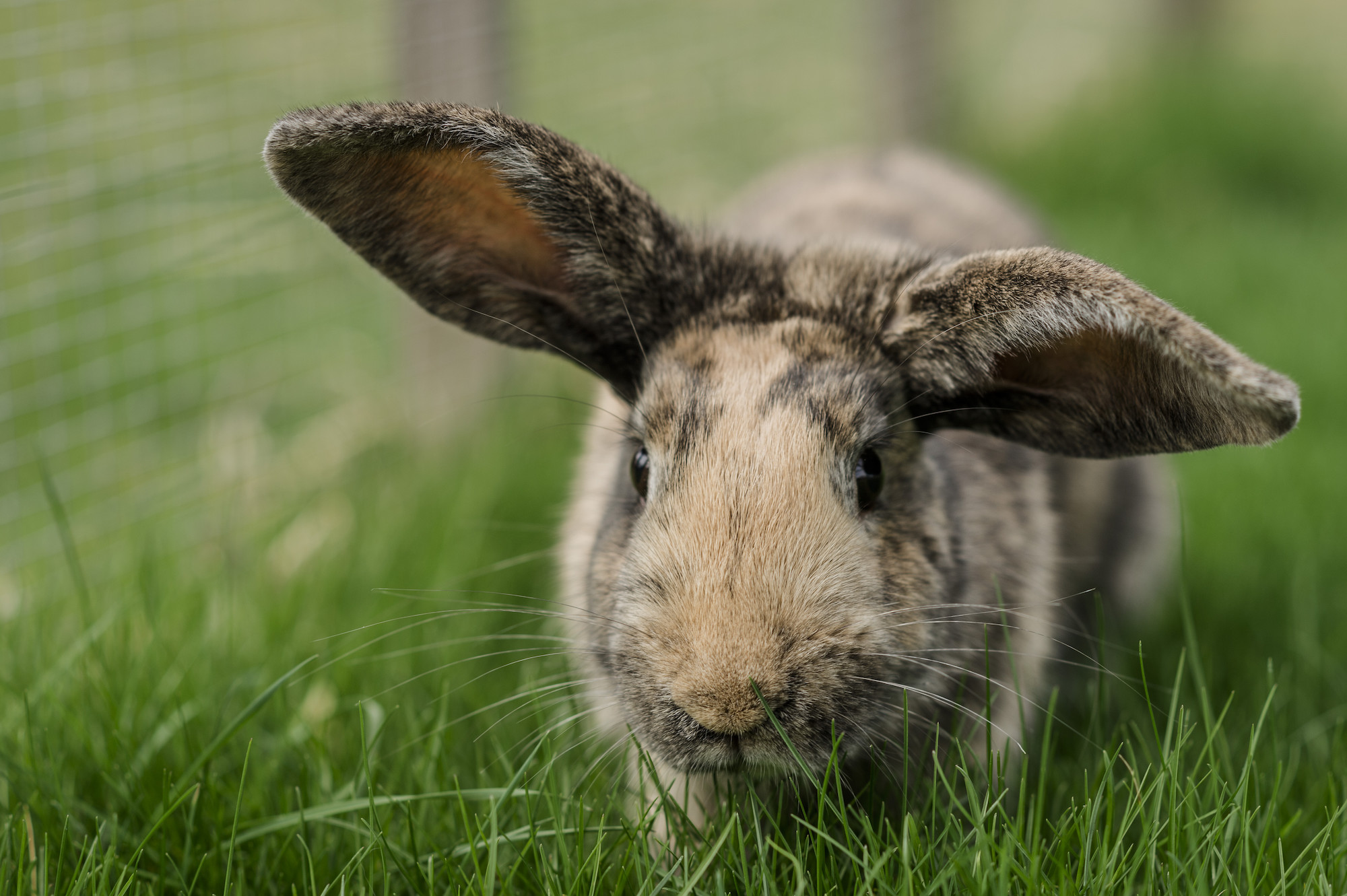 Rabbit Thumper at Burford rehoming centre.