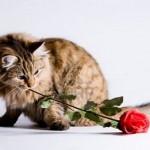 2420240-jonge-kat-is-om-een-roos-voor-valentijnsdag
