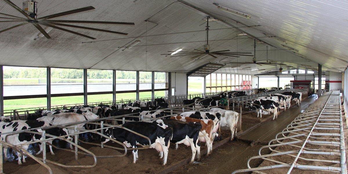 koeien in boxen